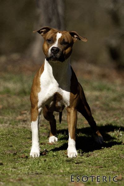 Esoteric American Staffordshire Terriers (Amstaffs