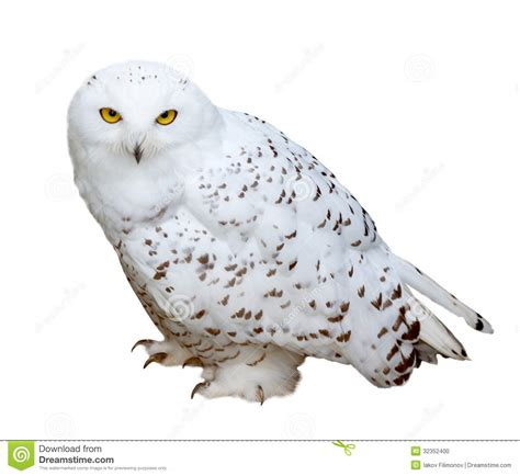 Snowy Owl, Isolated Over White B Stock Photo - Image: 32352400