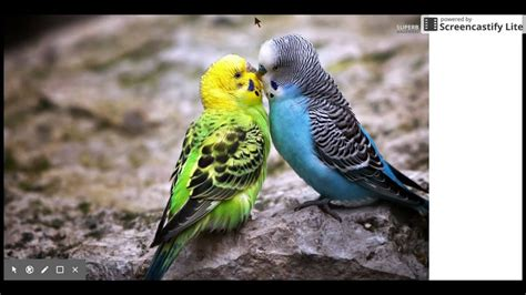 facts about parakeets - YouTube